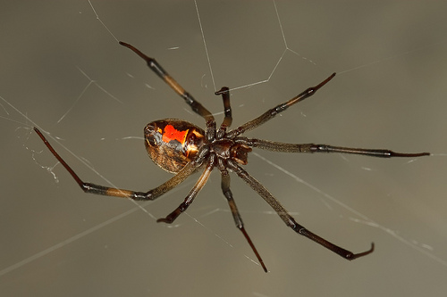 Brown Black Widow Black Widow Spiders Ma...